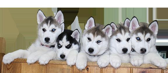 Puppies of Kuvuk Siberian Husky Breeding. Award winning breeding of Siberian Husky Dogs.